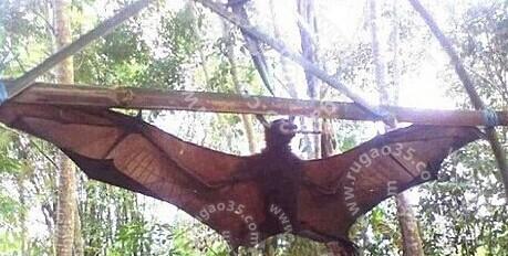 亚马逊1.5米巨型蝙蝠 曾咬死几头牛