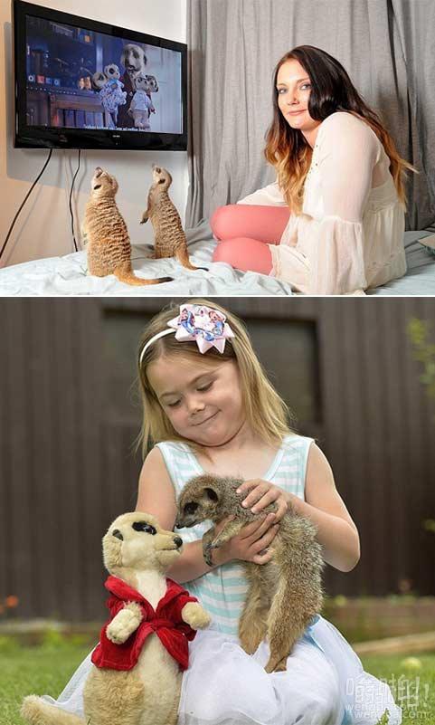 可爱的宠物吗?不,猫鼬们都是野蛮的小家清障车:多亏了那则广告,猫鼬已经成为时尚的宠物。但由于这些业主发现,猫鼬不是一样可爱,你看它们…