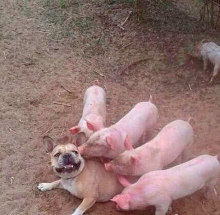 你们认错猪了,我哪点长的像猪,表烦我,走开!