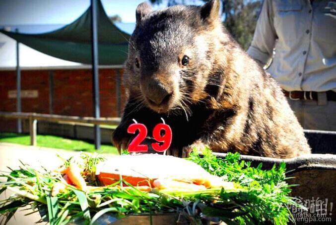 帕特里克年纪最大的袋熊庆祝它的29岁生日