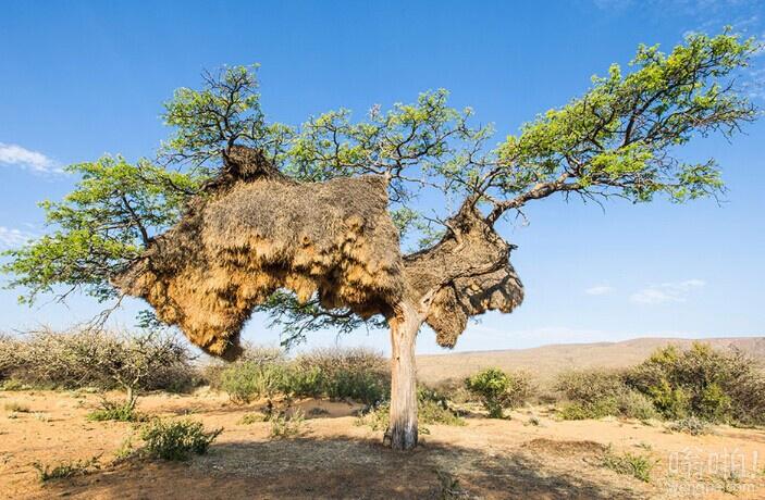 世界最大鸟巢压垮树干:重近2000斤 有100个隔间