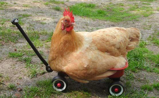 在格鲁吉亚奎特曼,一只鸡违章过马路。