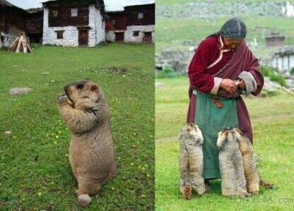 一群吃货土拔鼠。。。胖土拔鼠