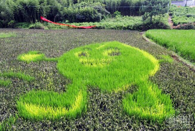杭州试验田彩色水稻种出漫画 还能好好种田不