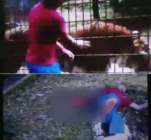 巴西11岁男孩动物园徒手拿肉喂食老虎 被咬掉胳膊(视频)
