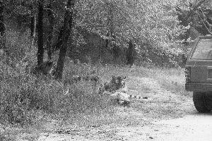 北京八达岭动物园巡逻员被三只老虎撕咬致死 游客驾车驱虎保尸(图)