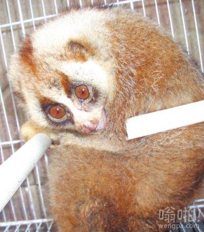 """小区里""""遛来""""国家一级保护动物蜂猴 既像猴子又像猫(图)"""