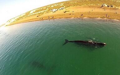 无人机空中拍摄鲸鱼妈妈和鲸鱼宝宝大西洋海岸附近玩耍 差点搁浅(视频)