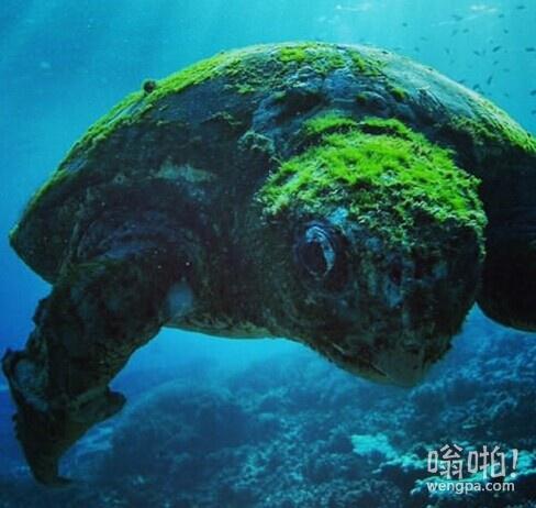 南大堡礁超过100年的老乌龟