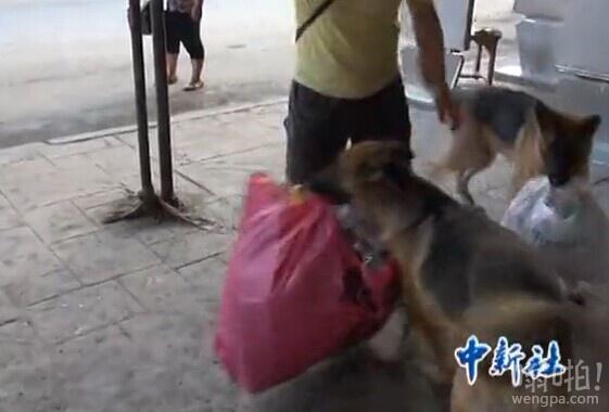 有用的狗狗:重庆两条牧羊犬江中捡塑料瓶年入千元