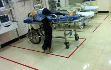 主人在急诊室抢救 小狗扒床看护