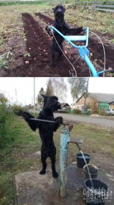 有用的狗狗:会干农活的汪星人
