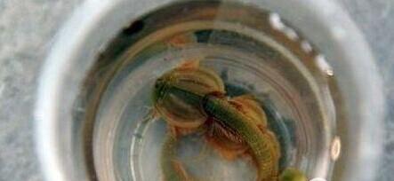 远古生物三眼恐龙虾现世:100℃沸水蒸煮不死