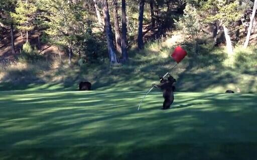 加拿大小黑熊闯入高尔夫球场 大跳钢管舞(视频)