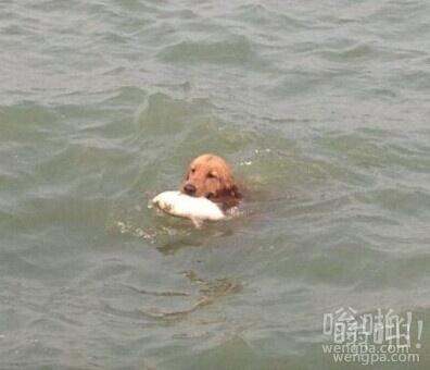 有用的狗狗 从海里抓鱼