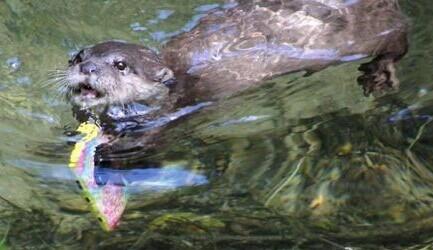 日前,一名游客在美国科尼什海豹救助中心参观时,不慎将手机掉入水池中。本以为再也找不回了,没想到这时9岁大的水獭Starsky主动潜入水底用嘴巴将手机拖出还给手机主人,太有爱了!顺便问一下,防水手机到底哪家