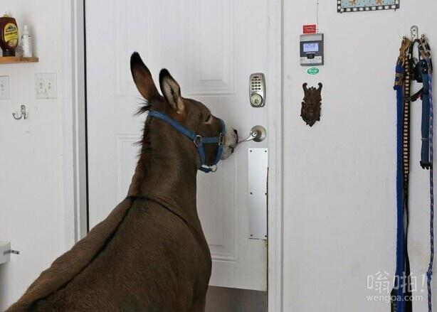 谁说驴蠢:这头驴会用自己的嘴开门(视频)