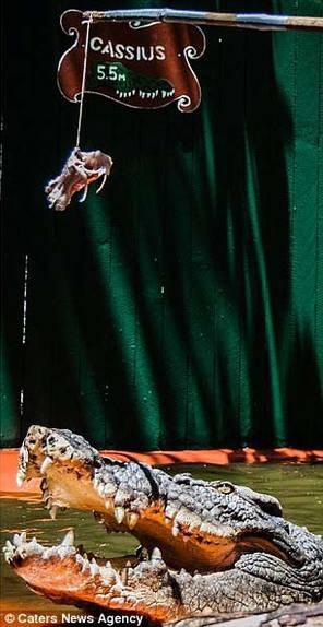 澳洲84岁鳄鱼猎手与世界最大鳄鱼一起生活30年