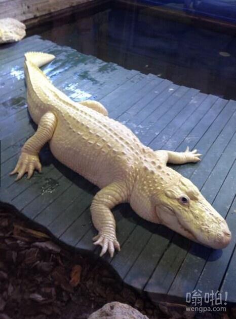 白化鳄鱼,全世界只有12只