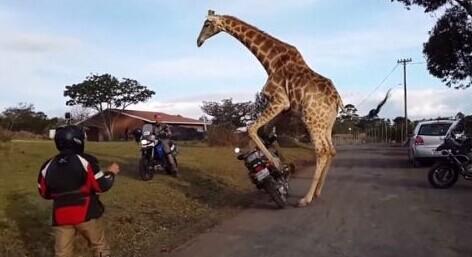 长颈鹿误将摩托车当成异性同类 企图与其发生性关系