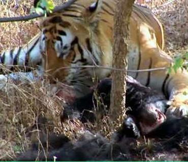 黑熊被三只老虎捕杀分食(视频)