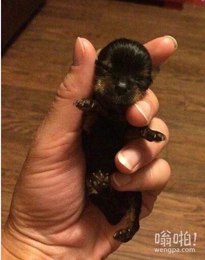 世界最小狗身高仅5厘米  个头娇小但争强好胜