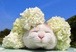 瞌睡猫Shironeko(白猫又称篮子猫)秀平衡技能头顶蔬菜水果卖萌