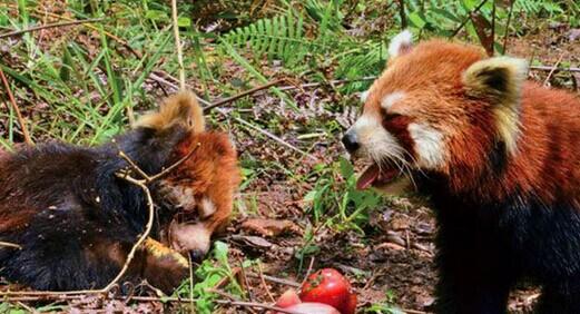 小熊猫地震遇难 伤心同伴阻收尸