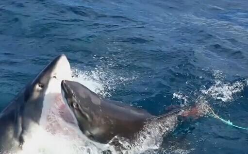 神奇时刻:澳大利亚附近大白鲨攻击同伴 没有辜负它海洋最可怕的捕食者声誉(视频)