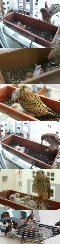 只是一个猎鹰在社区正常照顾后代