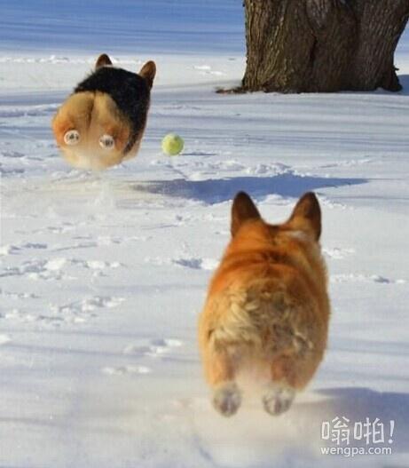 柯基犬在飞行