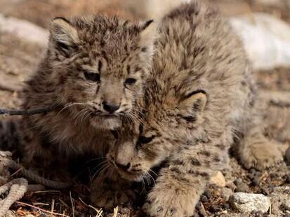 西藏阿里地区牧民割草发现2只雪豹幼仔 抱回喂养