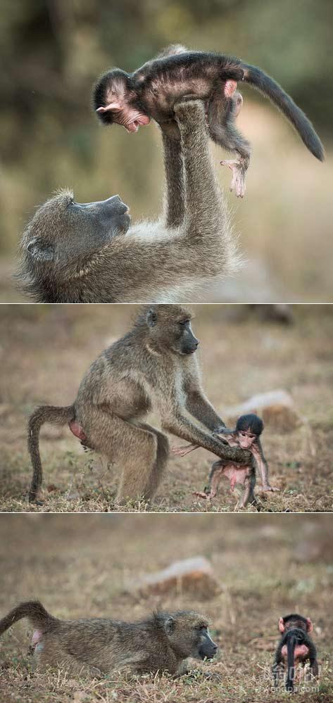 南非克鲁格国家公园发现感人的时刻:溺爱孩子的父母假装它们的婴儿是一架飞机逗它开心(视频)