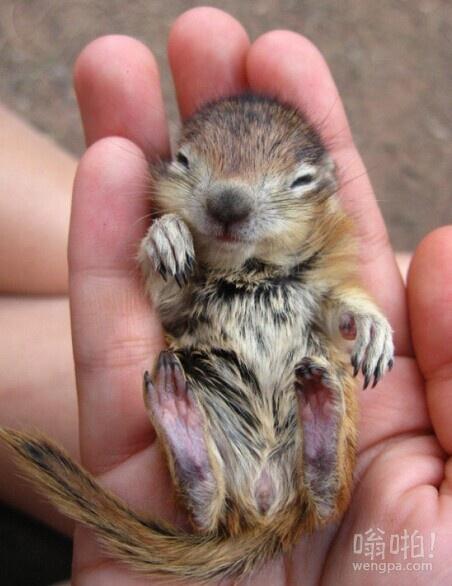 刚出生不久的小花栗鼠