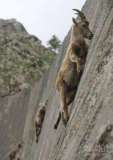 平板山羊攀爬