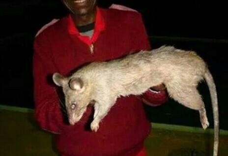 南非约翰内斯堡发现的老鼠 国内的大老鼠是不是弱爆了