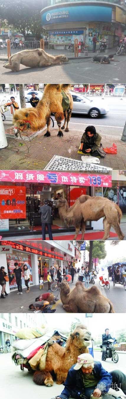 网曝多地出现骆驼乞讨 骆驼四肢被砍
