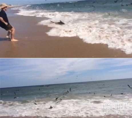 真正的Sharknado(龙卷鲨)!游客拍摄令人难以置信的100条鲨鱼游到浅水觅食(视频)