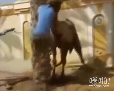 男子杀骆驼被骆驼咬住脑袋甩飞(视频)