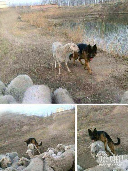 现实版狼爱上羊