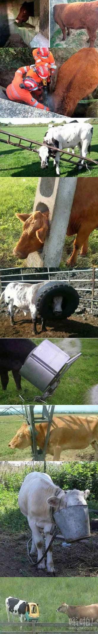 为什么奶牛喜欢钻空子而不是牛角尖