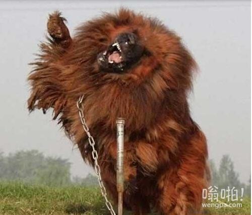 惹不起的世界9大顶级恶犬