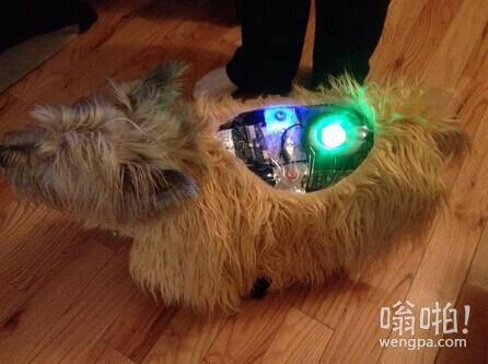 """我妹妹的狗参加在西部世界万圣节服装比赛,它赢得了""""最可怕的服装""""奖"""