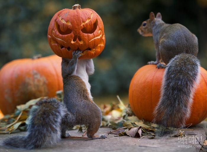 松鼠试图从摄影师的后院窃取雕刻南瓜