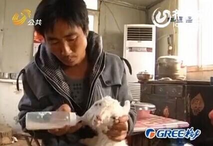 山东农户家现双头羊 两嘴皆吃食发声