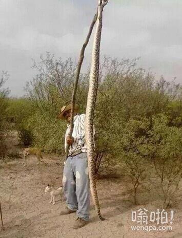 墨西哥农场主打死巨型响尾蛇