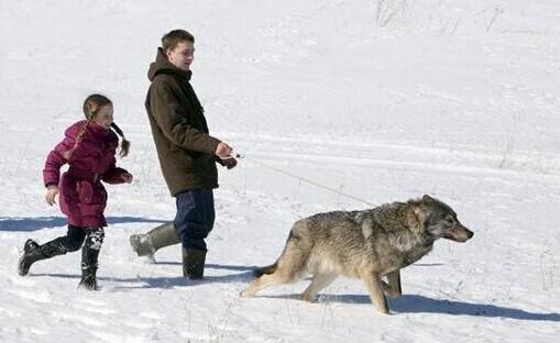 白俄罗斯家庭将野生狼改造成宠物 共同生活5年
