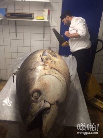 格陵兰的厨师,这是刚到的金枪鱼