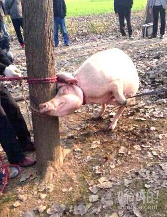 【惊悚】母猪吃人!两岁男童树林玩耍被母猪咬死吃掉