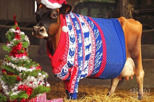 这牛已经准备好过圣诞节了